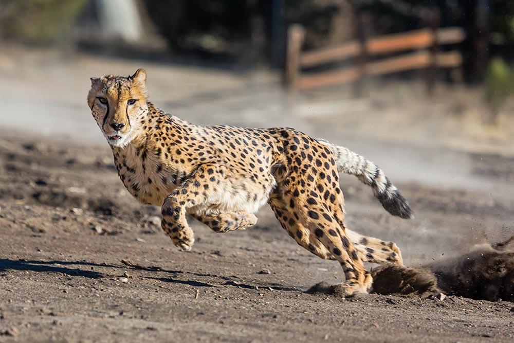Le gardien doit avoir l'instinct du guépard - source : Animal Ark